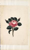 [Unnumbered], [Drawing of a rose]
