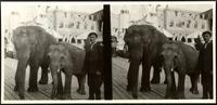 New York City: Coney Island, keeper with two elephants, undated. Stereograph.