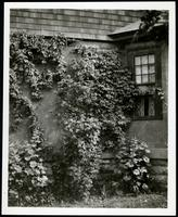 New York City: detail of ivy on wall of unidentified stucco house, undated. Queens.
