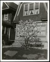 New York City: small magnolia tree in bloom in front of unidentified Dutch-style house, undated. Queens.