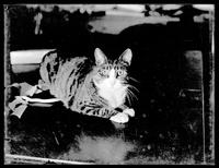 Reddy (cat) by arc lamp light, undated (ca. 1913).