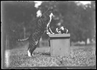 Reddy the cat and two unidentified guinea pigs, Astoria, Queens, July 1910.