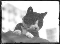 Low-angle close-up of Reddy the Cat, undated (ca. 1911-1921).