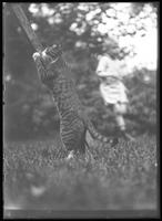 Reddy the cat standing on his hind legs, with William Gray Hassler in the background, Astoria, Queens (?), undated (ca. 1910-1911).