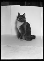Peaches the cat posed in front of an improvised backdrop, December 17, 1916.