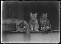 Peaches and two unidentified young cats, undated (ca. August 1916).