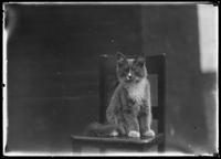 Unidentified young cat (Peaches?) posed on a chair, undated (ca. August 1916).