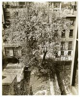 Mrs. W. H. Wells 265 W. 11th; 10 year old pear tree 4 stories high, started flowering and fruiting again, special treatment by Mr. Wells.