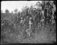 Georgie and Willie standing at the edge of the corn field, Garrison, N.Y., 1902.
