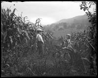 Georgie and Willie laughing in the corn field, Garrison, N.Y., 1902.